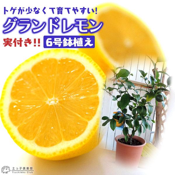《実付き》レモンの木『グランドレモン』接ぎ木苗6号鉢植え(※1個なり)