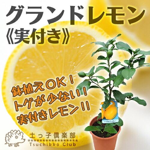 《実付き!!》早生温州みかん(西海ミカン) 6号鉢植え苗