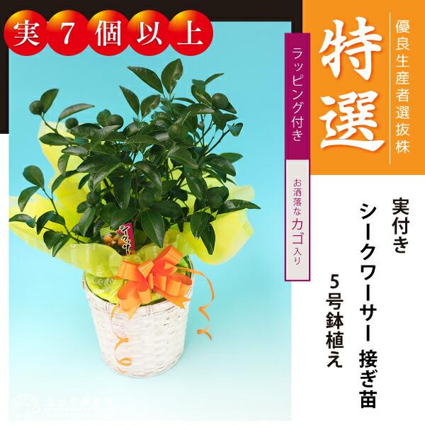 特選!実付き シークワーサー5号鉢植え 接木苗