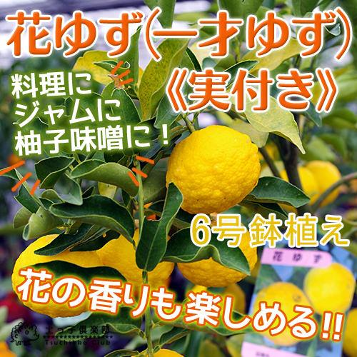 【珍種】矮性ジューンベリー『リージェント』 18cmポット苗