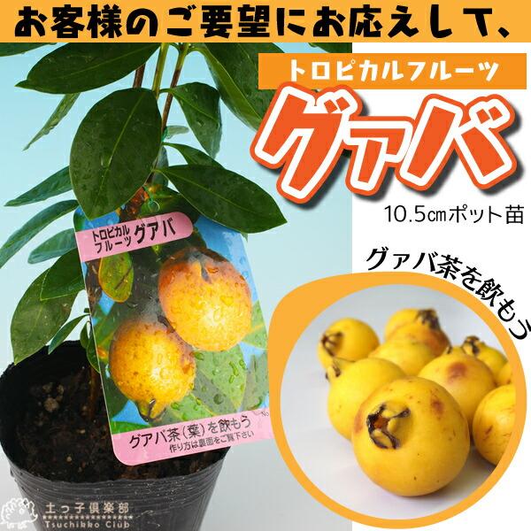 トロピカルフルーツ グアバ 10.5cmポット苗
