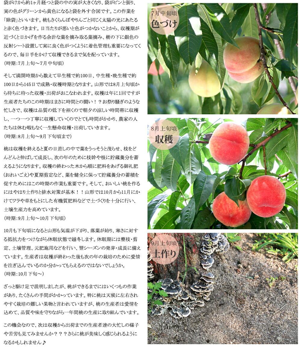 山形県産  もも モモ 桃 白桃
