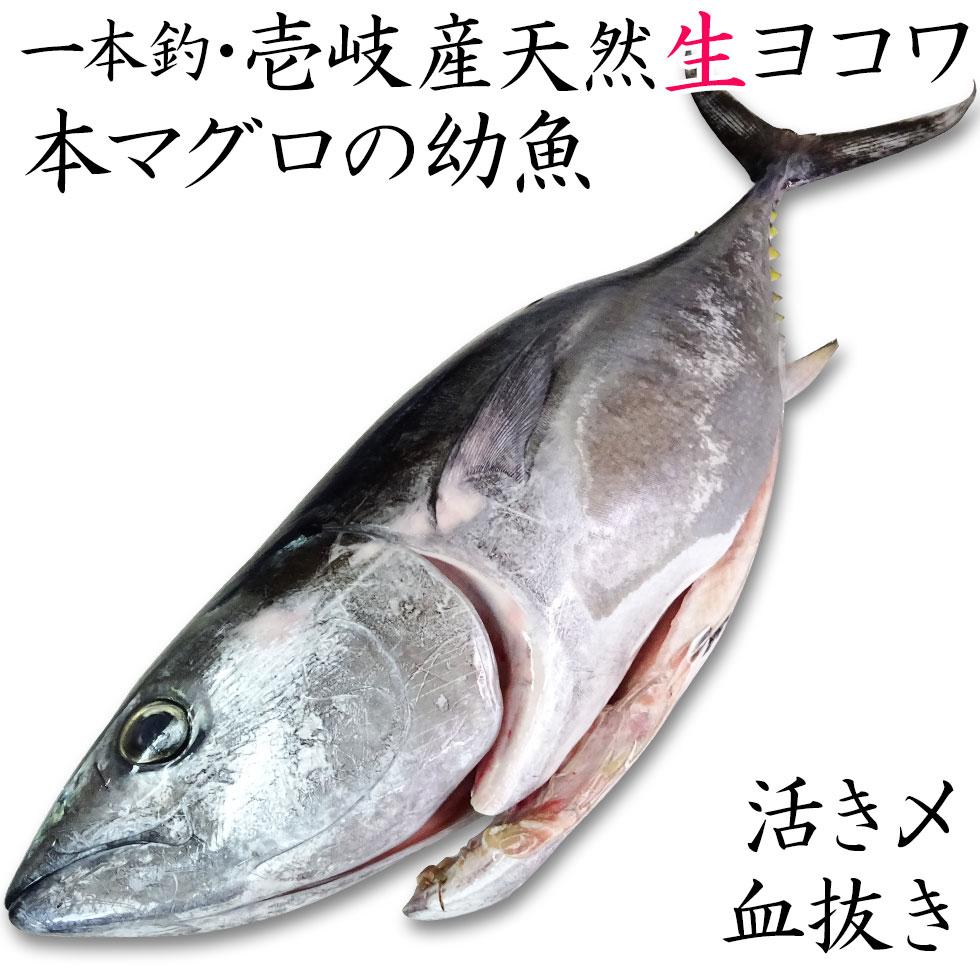 0 壱岐産よこわ 本マグロの幼魚