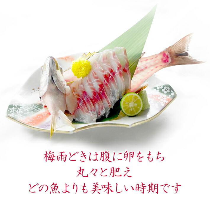 通年を通しておいしいイサキ。身は白身で真鯛よりも柔らかく脂乗りも抜群!特に梅雨どきは腹に卵を持ち、丸々と肥えて、鯛やスズキよりも美味しい時期です。