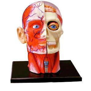 人体解剖  模型