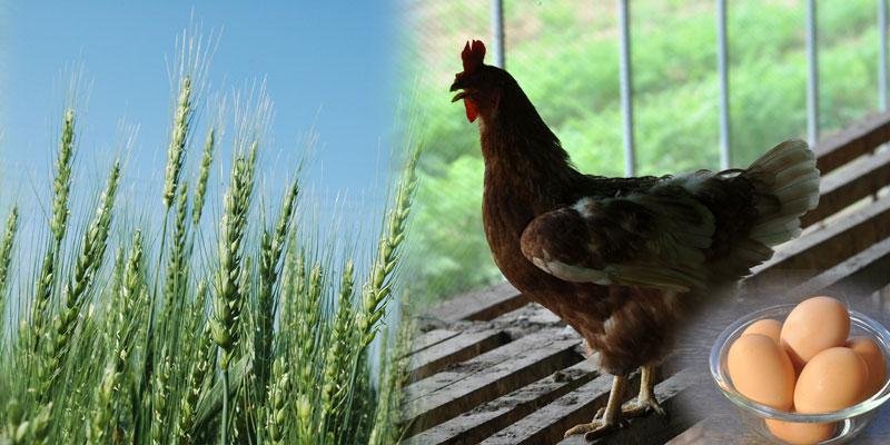 安心の長野県産小麦と小布施くりのみ園の放し飼い有精卵