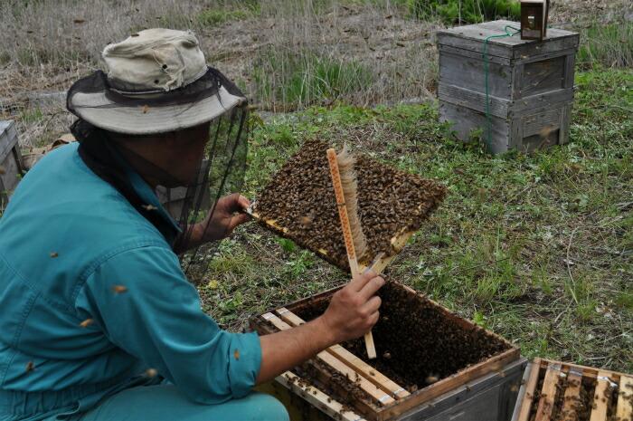 採蜜のため巣からミツバチを落としている様子。