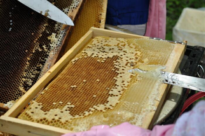 ミツバチの巣から蜜を取り出しやすくするため、蜜蝋を取り除いている様子。