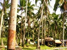 ココナッツ農家