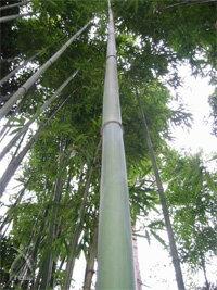 竹布:竹の生長