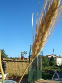 【アサクラの古代小麦パスタ】小麦