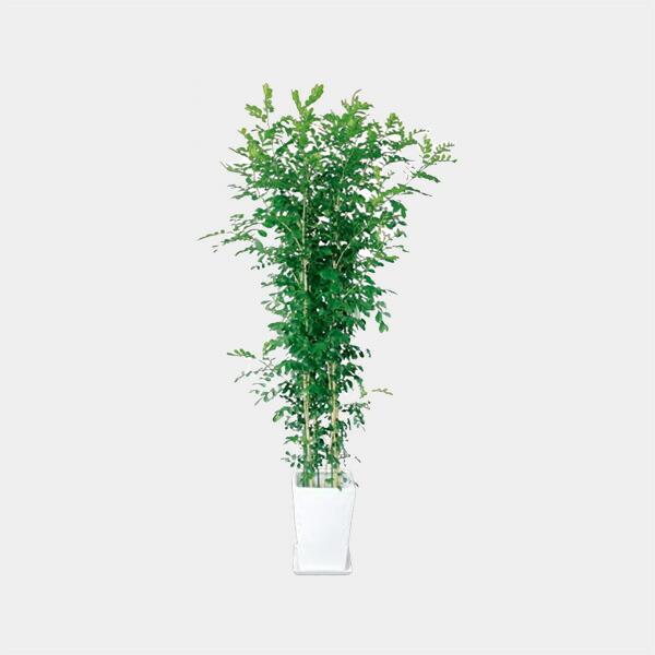 観葉植物,ゲッキツ10号