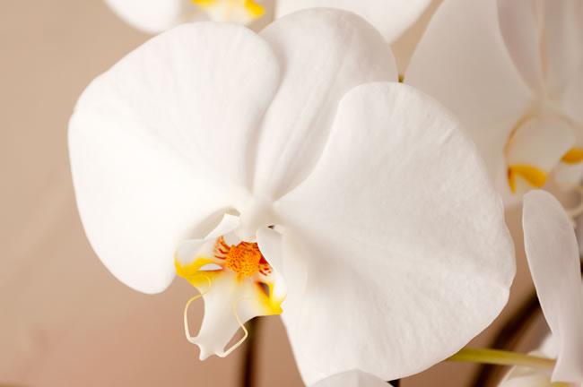 コチョーラン鉢植え(胡蝶蘭3本立)