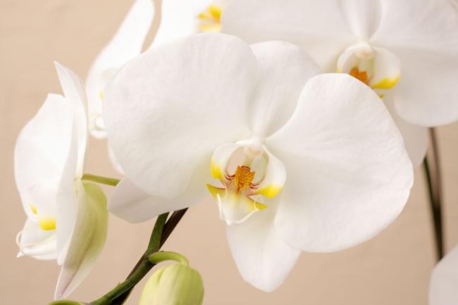 コチョーラン鉢植え(胡蝶蘭5本立)