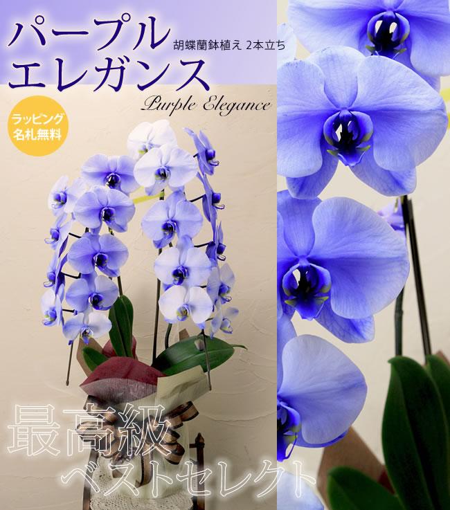 パープルエレガンス 胡蝶蘭鉢植え2本立ち