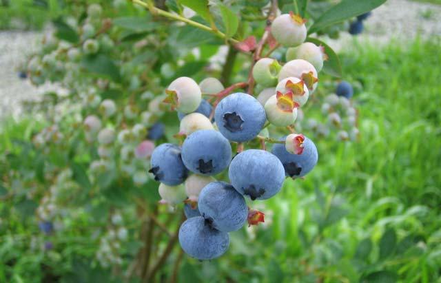 栽培しているブルーベリー