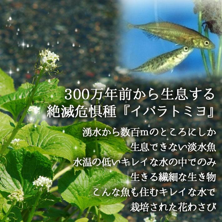 はなわさび001