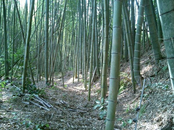 山口ではおなじみの竹林