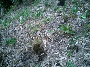 竹の子発見