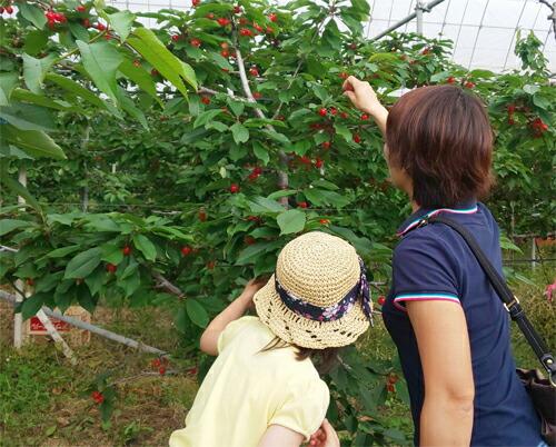 さくらんぼ 山の果樹園