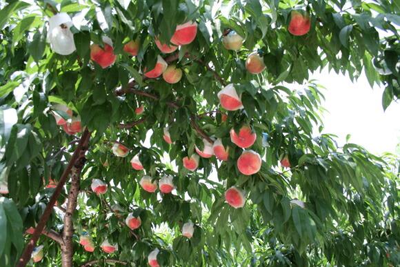 木いっぱいに実る桃は最盛期