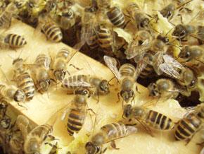 日本蜜蜂は西洋ミツバチより縞模様の黒い部分が多いのが特徴です。おとなしい性格の蜜蜂です。