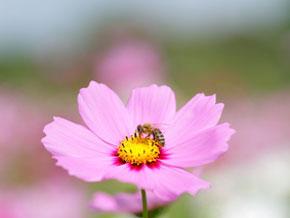 おっとりとした性格の日本蜜蜂は、西洋ミツバチより刺す事が少ないおとなしい蜜蜂です。