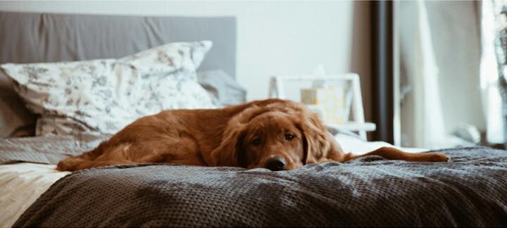 茶色の大型犬