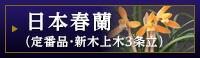 日本春蘭(定番品・新木上木3条立)