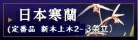 日本寒蘭(定番品・新木上木2-3条立)