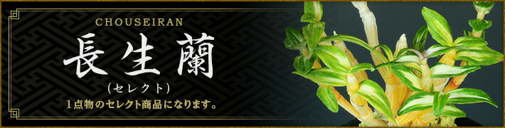 長生蘭(セレクト)
