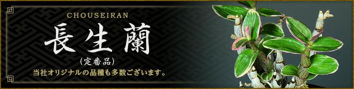長生蘭(定番品)