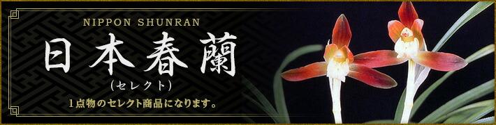 日本春蘭(セレクト・花芽付特選品)