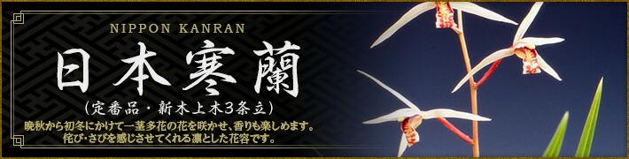 日本寒蘭(定番品・新木上木3条立)
