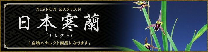 日本寒蘭(セレクト・花芽付特選品)