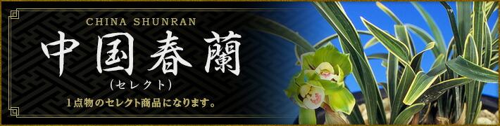中国春蘭(セレクト・花芽付特選品)