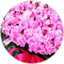 フリル咲き6号鉢
