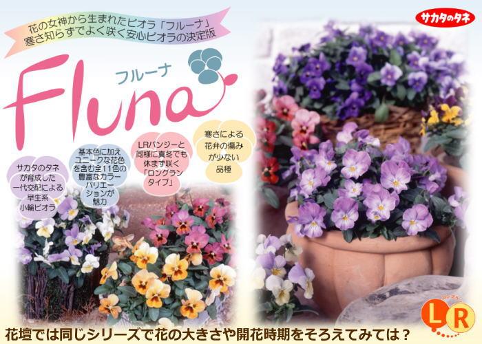 人気のロングラン(長く咲く)ビオラ「フルーナ」