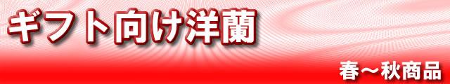 ギフト向け洋蘭 春〜秋商品