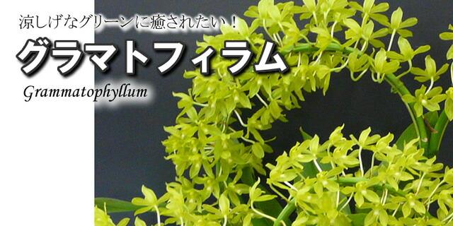 グラマトフィラムgrammatophyllum