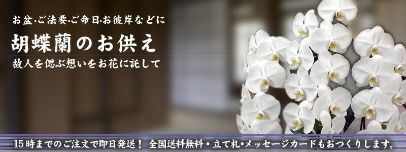 胡蝶蘭のお供え。【あす楽田】【送料無料】