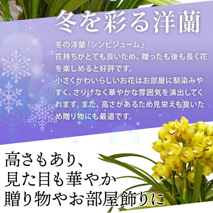 冬を彩る洋蘭
