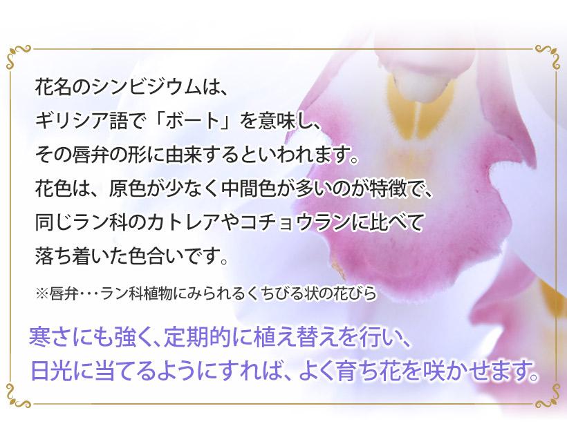 シンビジウムは寒さにも強く、定期的に植え替えを行い、日光に当てるようにすれば、よく育ち花を咲かせます。