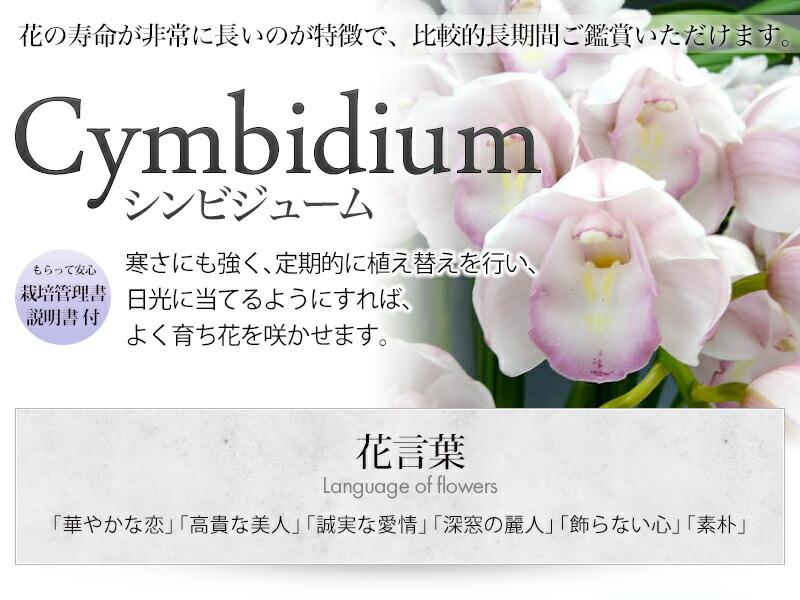 シンビジウムのシーズンは11月中旬から2月、ギフトにもおすすめ