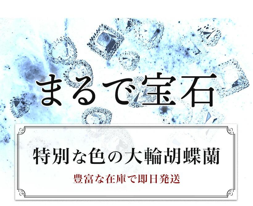 宝石・大輪胡蝶蘭