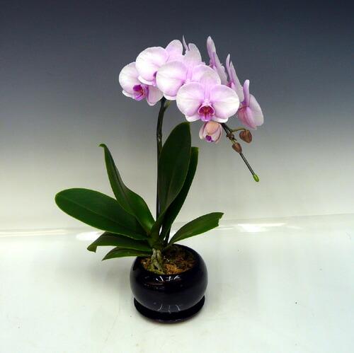 ミディ桜ピンク1本立陶器鉢受け皿付