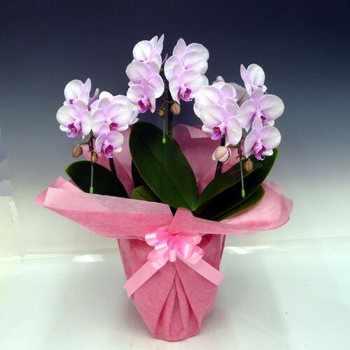 ミディ胡蝶蘭 桜ピンク 3本