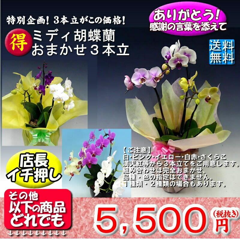 ミディ胡蝶蘭おまかせ3本立て5775円