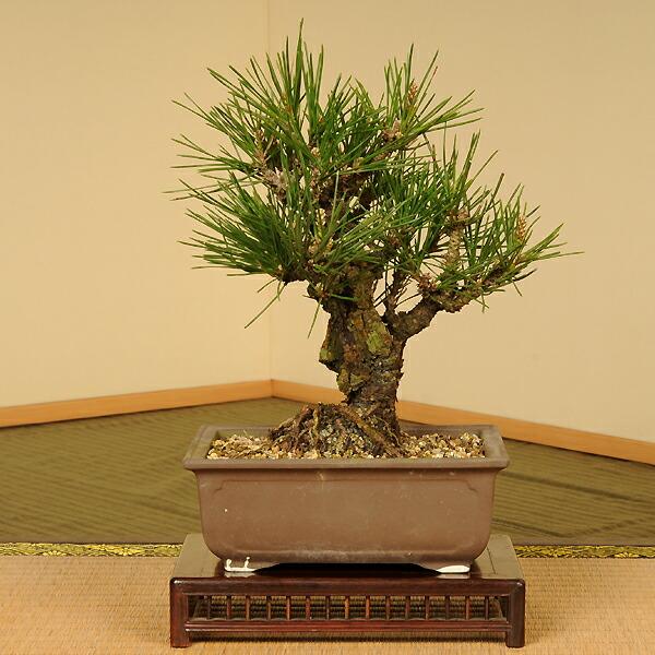 小品盆栽:錦黒松