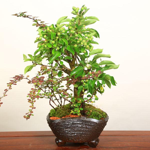 盆栽:ぷちりんご寄せ植え-信楽焼鉢